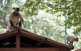 پتوکی:سول جج پتو کی کی رہا ئش گاہ پر دو خو ن خوار بندروں کا حملہ
